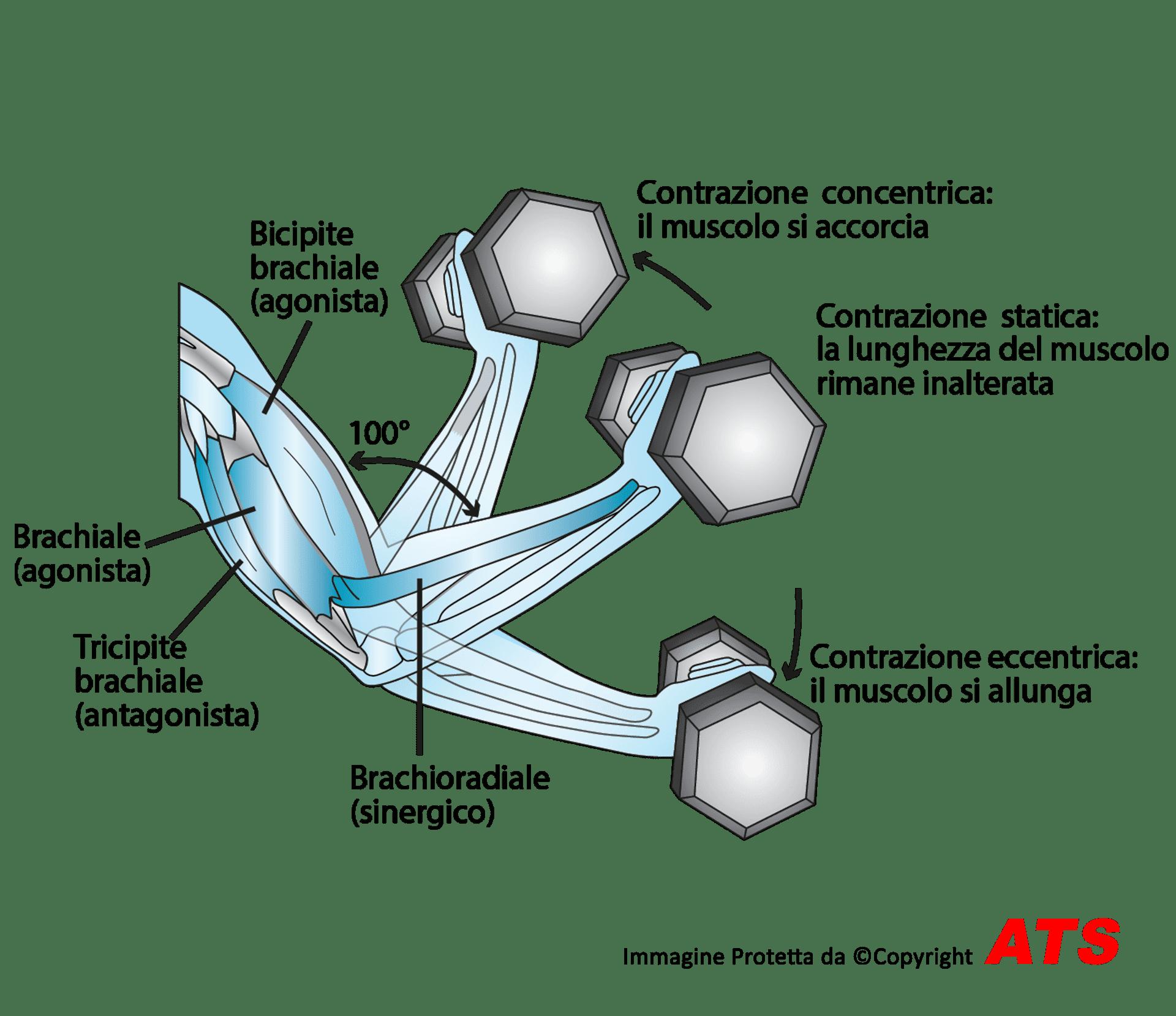 Esercizio-Funzionale-Bicipite