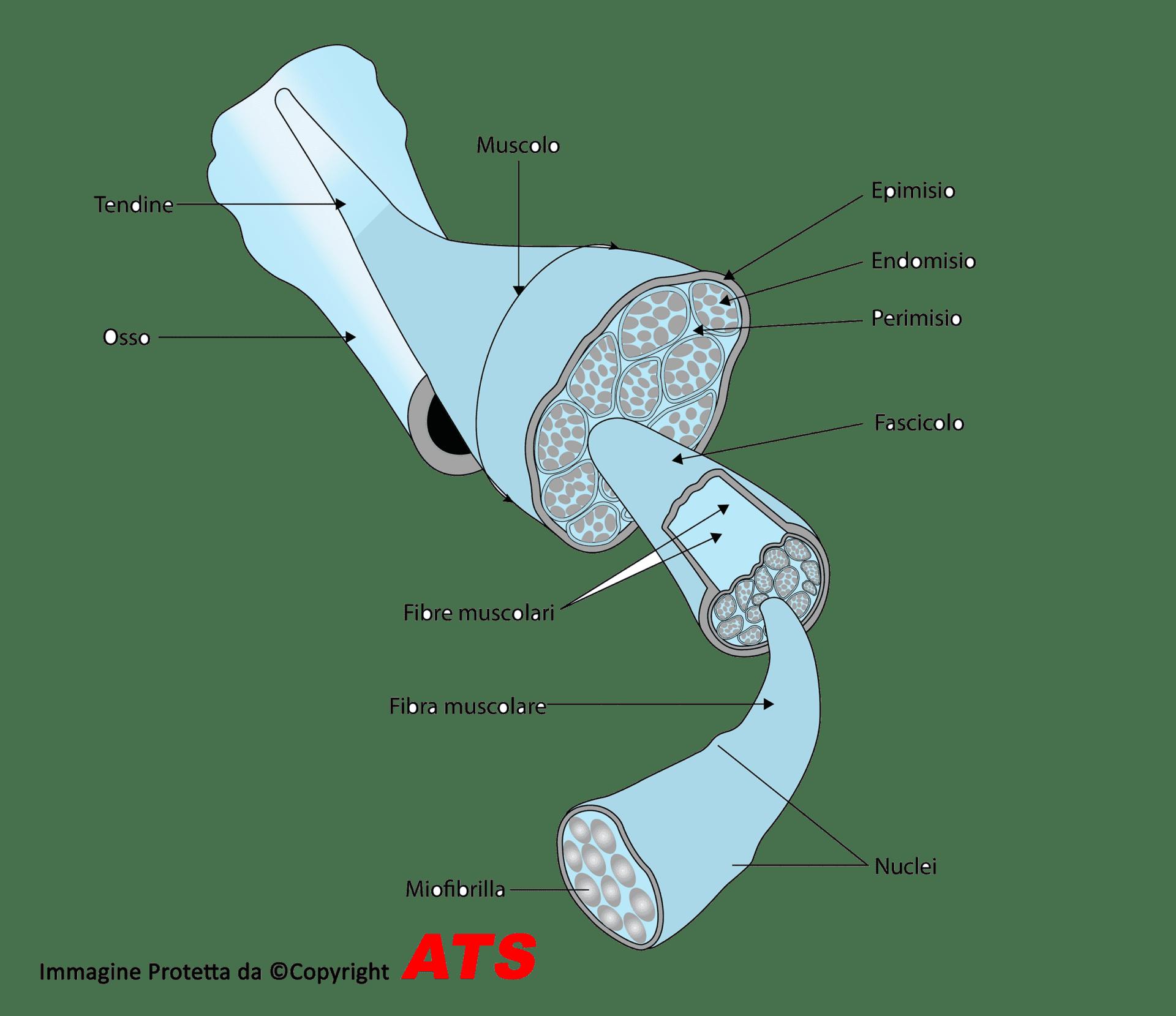 Fascia-muscolo
